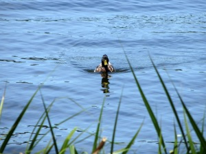Duck swimming in Collins Bay