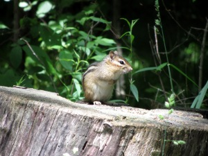 There's an abundance of chipmunks and squirrels in the area.